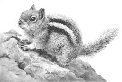 Ground Squirrel - Small Wonders drawing