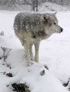 Wolf in the snow blizzard, Wednesday morning.