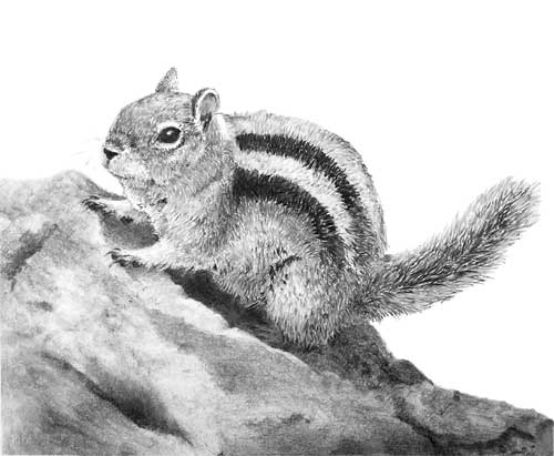 'Golden Mantled Ground Squirrel' by Jenny Sibley at a Mike Sibley UK drawing workshop