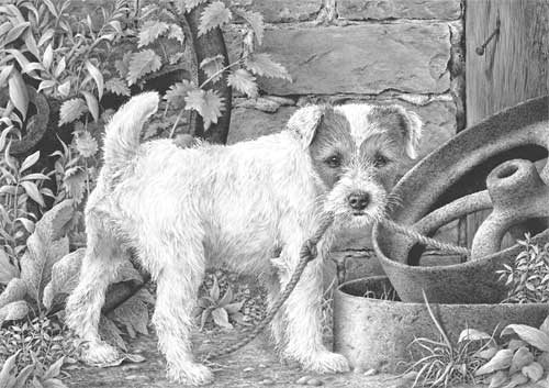 Parson Russell Terrier pup study 'What?