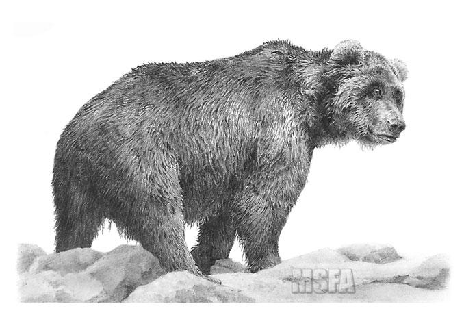 нарисовать медведя карандашом картинки