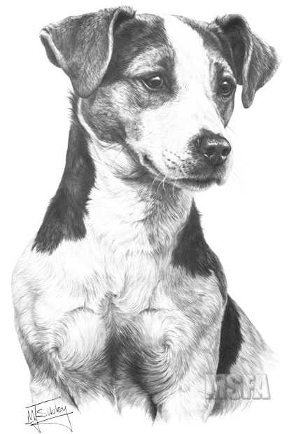 Jack Russell Terrier Fine Art Dog Print By Mike Sibley