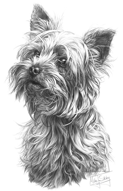 yorker terrier aschersleben
