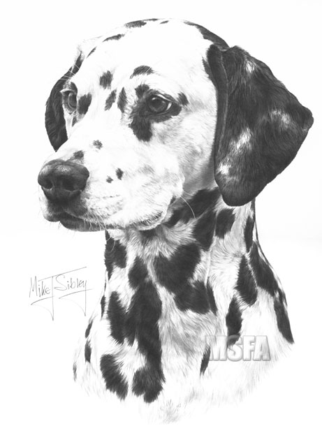 Dalmatian Fine Art Dog Print By Mike Sibley