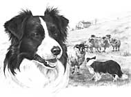 Border Collie limited edition print