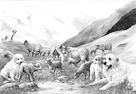Pyrenean Mountain Dog (Great Pyrenees) Print