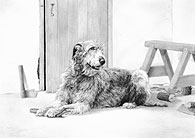 Irish Wolfhound fine art print by Mike Sibley