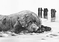 'Just Dreaming' Newfoundland fine art print by Mike Sibley