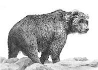 Grandpa Grizzly - Grizzly Bear study fine art print by Mike Sibley