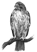 Redtailed Hawk fine art print by Mike Sibley