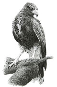 'Harris Hawk' - fine art print by Mike Sibley