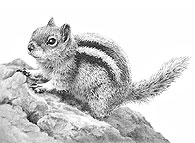 Golden Mantled Ground Squirrel fine art print by Mike Sibley