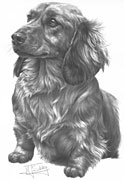 Dachshund (long hair) fine art print