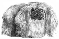 Pekingese fine art print by Mike Sibley