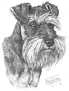 Miniature Schnauzer fine art print by Mike Sibley