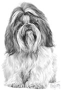 Shih Tzu fine art print by Mike Sibley