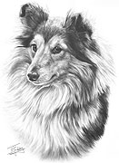 Shetland Sheepdog fine art print by Mike Sibley