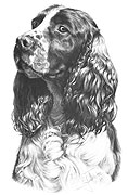Springer Spaniel fine art print by Mike Sibley