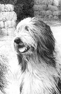Detail from Done Balin' Bearded Collie drawing