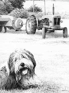 Bearded Collie and David Brown tractor - detail from the completed drawing