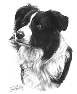 Border Collie fine art graphite pencil dog print by Mike Sibley