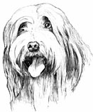 Bearded Collie drawing 1978