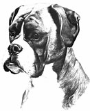 Boxer drawing 1979
