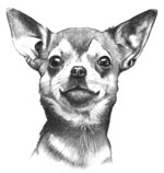 Chihuahua pencil study 1978