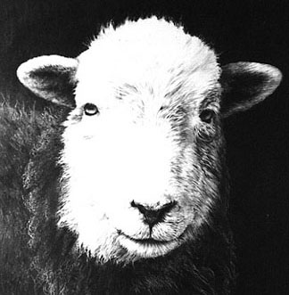 Herdwick Sheep commission