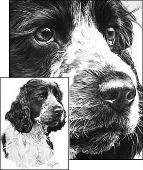 Springer Spaniel commission