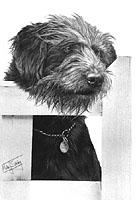 Bearded Collie cross
