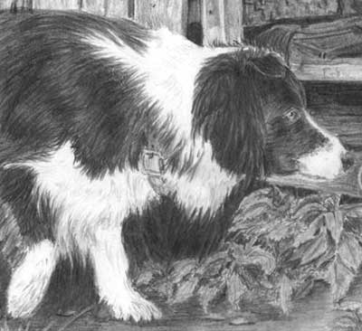 Detail from Kathryn's Border Collie and Duck graphite pencil drawing