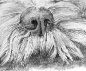 nose and top lip of 'Cockapoo' by Mark