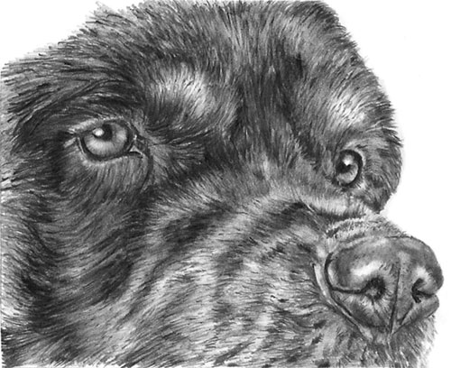 Tom's Black & Tan Rottweiler drawing