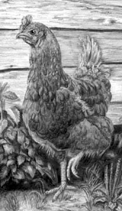Henrietta the hen from pencil drawing by Mary