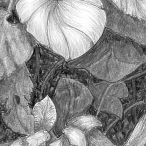 Before: Absence of black areas in foliage loses depth in pencil drawing